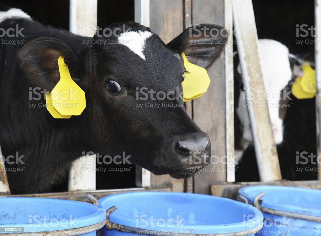 Holstein Frisian calf with eartags, Friesland, the Netherlands stock photo