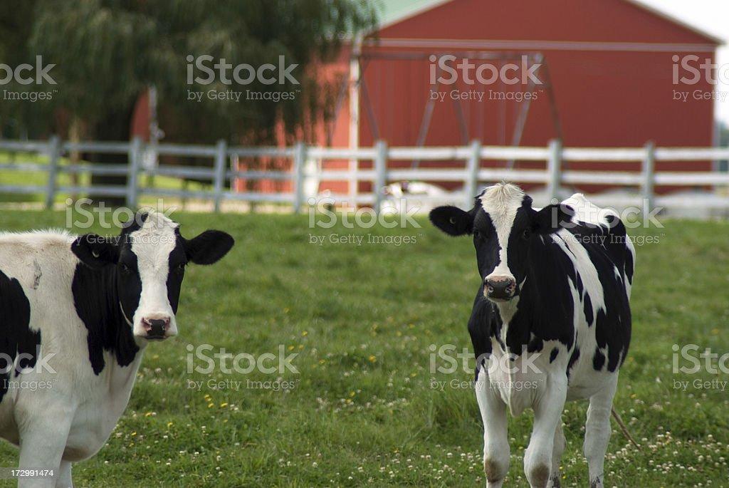 Holstein Heifers royalty-free stock photo