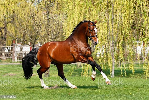 Holsteiner stallion galloping picture id157442842?b=1&k=6&m=157442842&s=612x612&h=52ohwb4mmrhwsy9wg3u543nrc5momksusmtw2qvbck8=