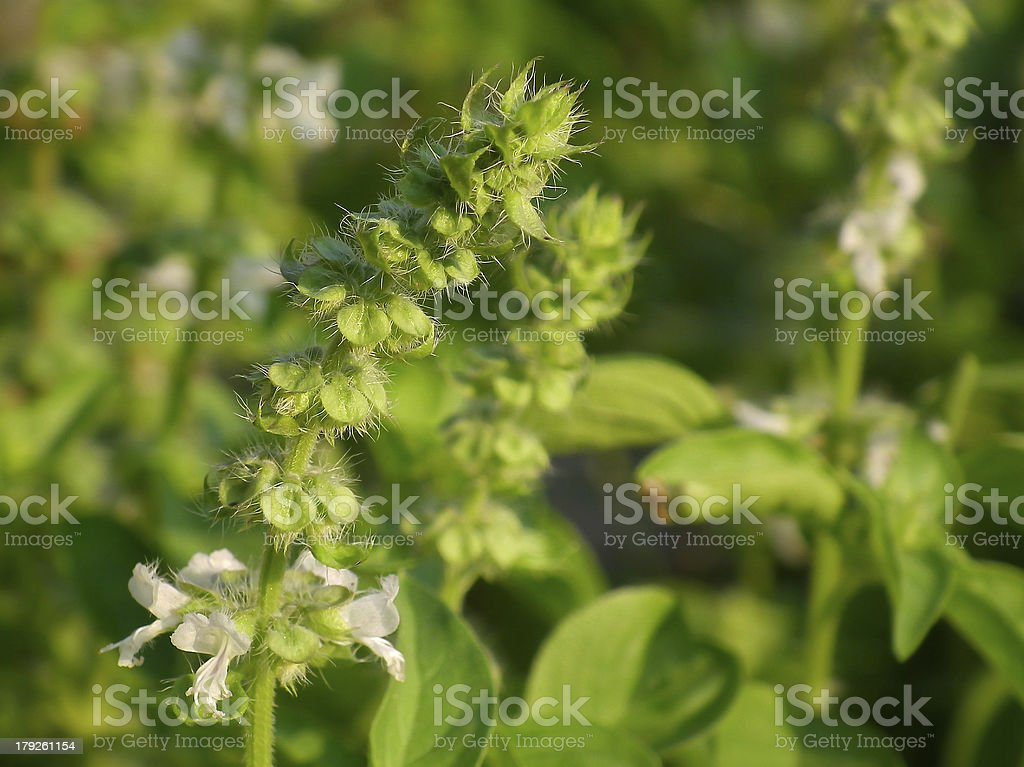 Holy basil flowers royalty-free stock photo