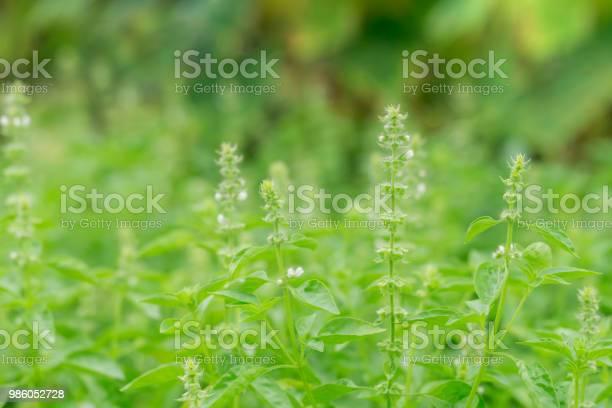 Holy basil green leaves picture id986052728?b=1&k=6&m=986052728&s=612x612&h=wvloqme2tc5ljqxnbimgtfcmko1hmrdpmpvlxpyoy k=