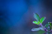 Holy basil or tulasi plant against blue background.