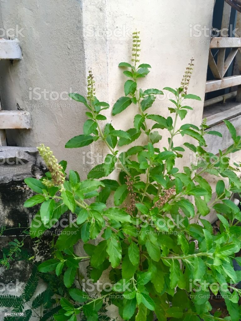 Holy Basil or Ocimum Sanctum in A Garden stock photo