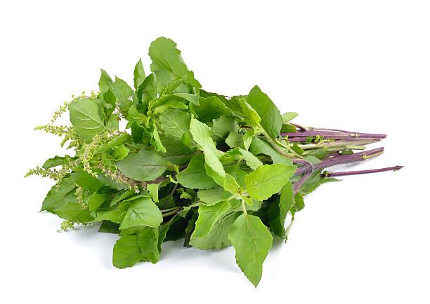 Holy basil or tulsi leaves isolated on white background stock photo