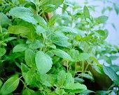 Medicine, Plant, India, Basil, Spirituality