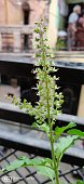 Tulsi a sacred holy plan in Hindu belief used to ward off negative energies in home and can be used for medicinal purpose.