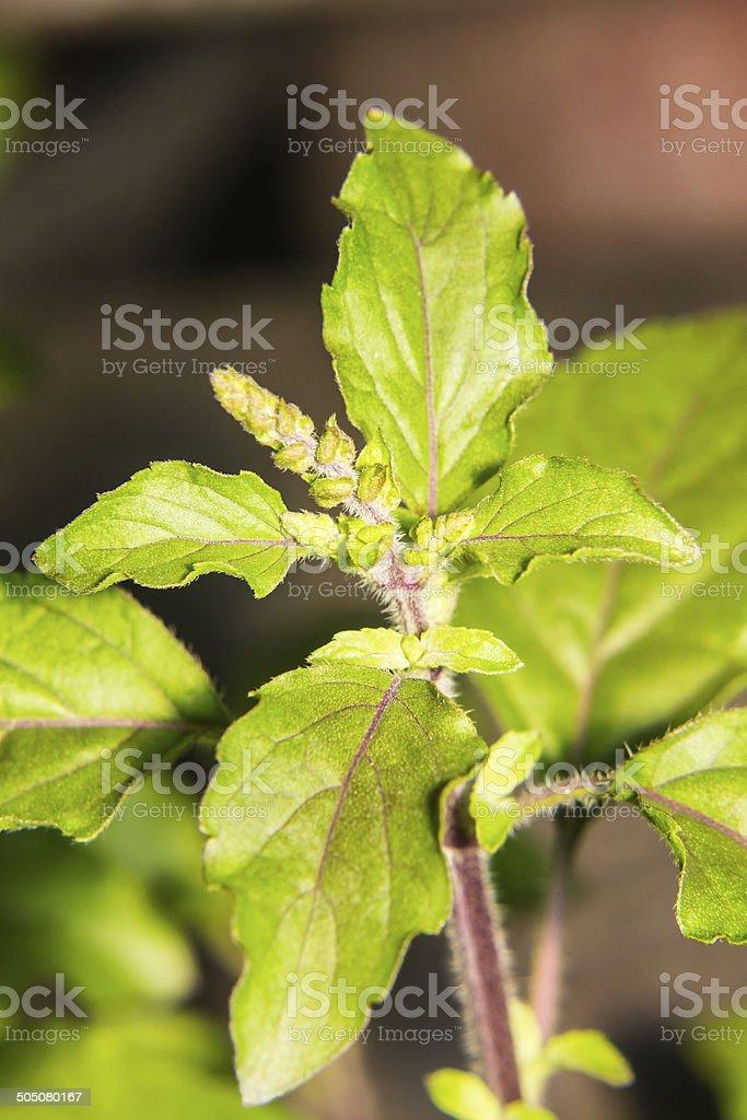 Holy basil tree macro stock photo