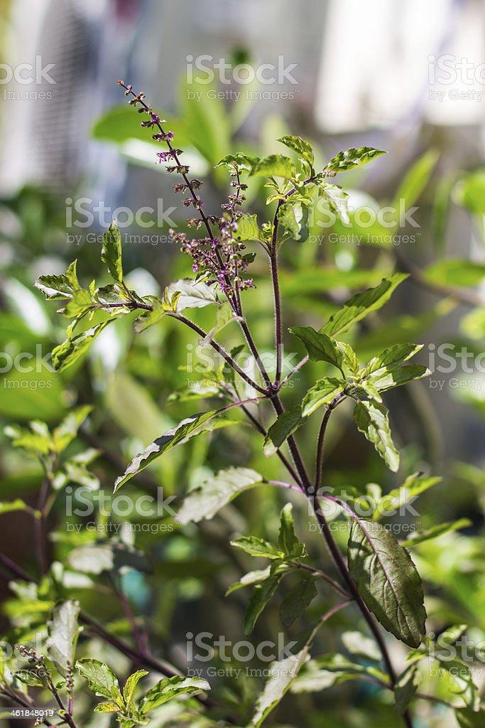 Holy basil tree stock photo