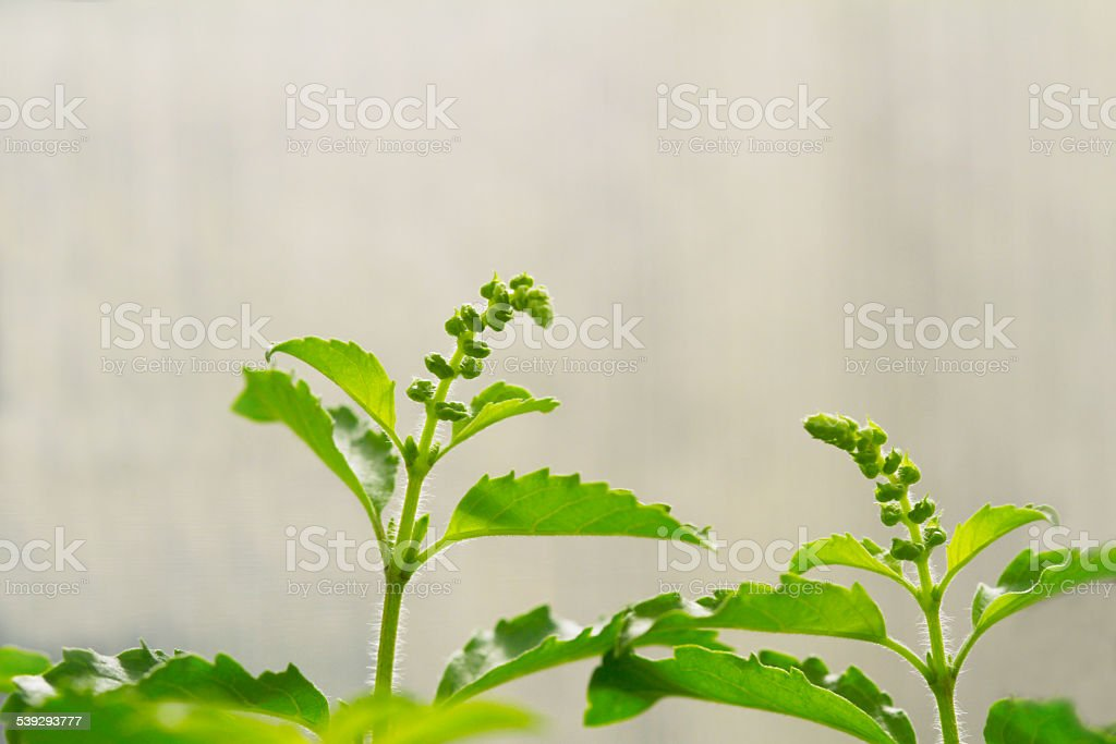 Holy basil with blossom stock photo