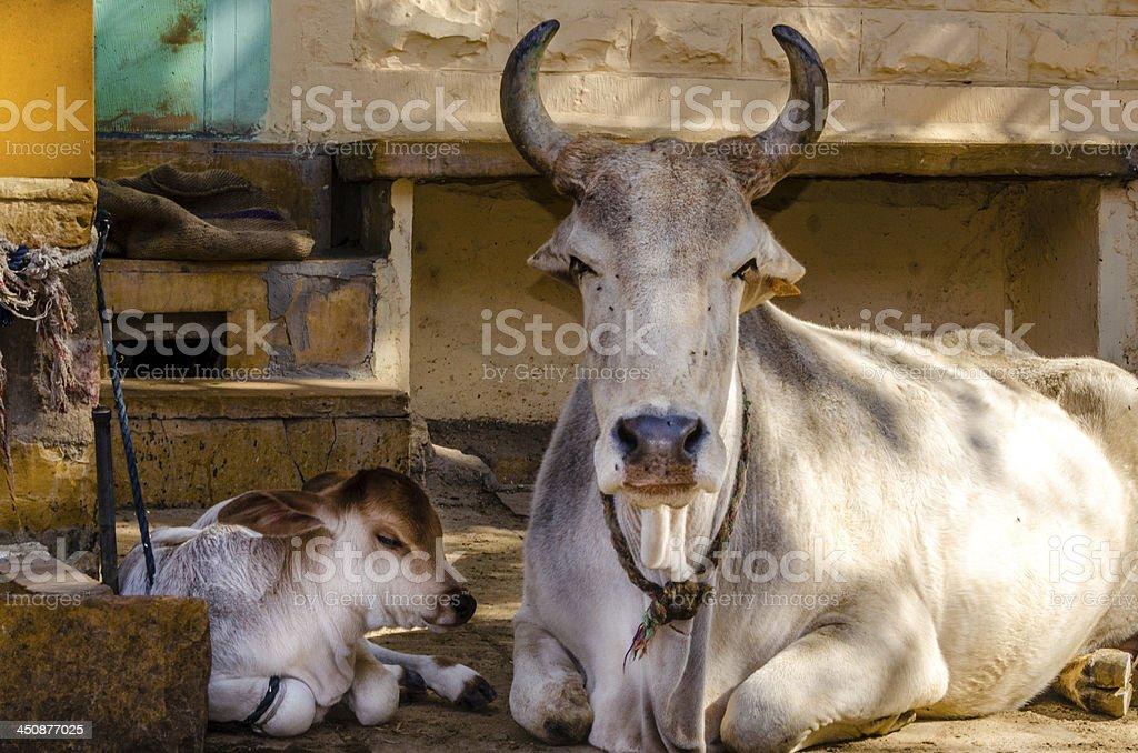 Holy Cow und seine Kalbsleder – Foto