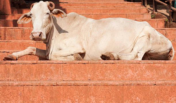 Vaca sagrada - foto de acervo
