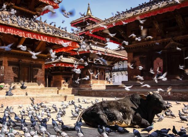 Heilige Kuh mit Tauben und Krähen, Durbar Square, Kathmandu – Foto