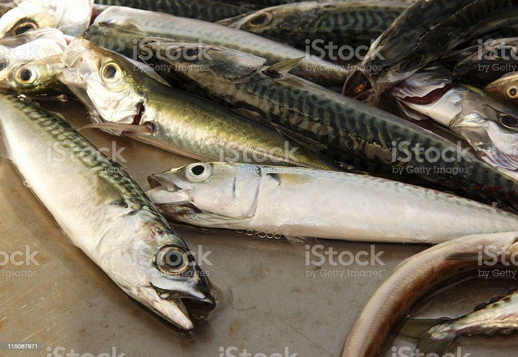 holy mackerel fish royalty-free stock photo