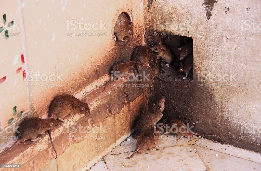 Holy rats running around Karni Mata Temple, Deshnok, India stock photo