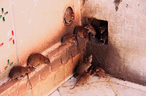 Holy rats de courir autour de Karni Mata Temple Deshnok, Inde - Photo