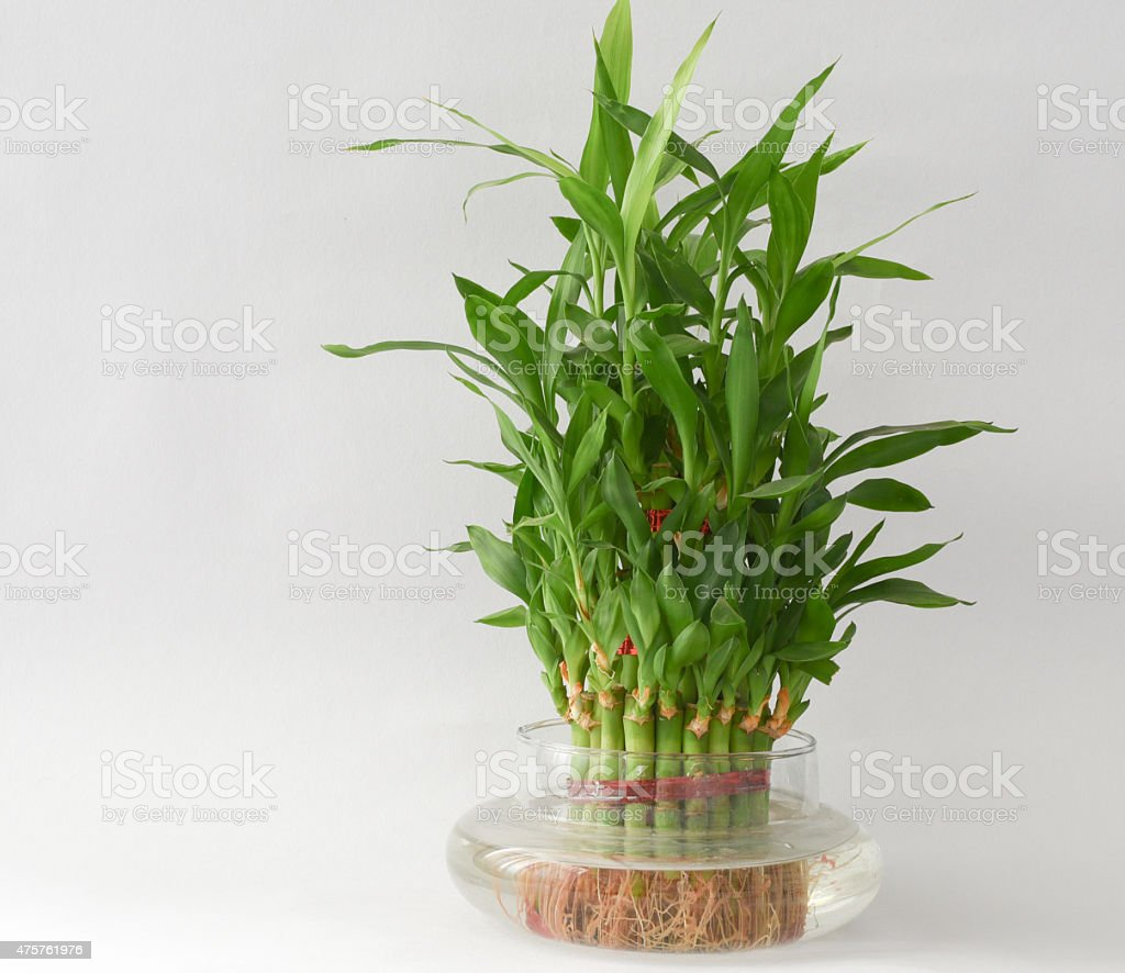 Home Bamboo plant on a kitchen plate stock photo