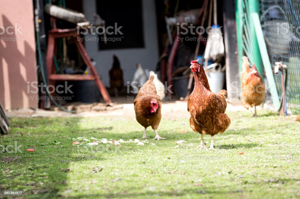 Home Farm of organic chickens. Hens running through the grass on a free run. royalty-free stock photo