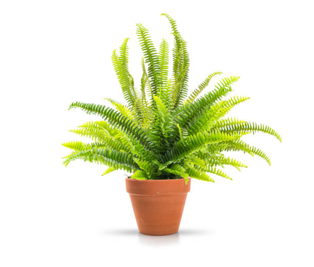 Home fern Fern in a clay pot on white background, including clipping path fern stock pictures, royalty-free photos & images