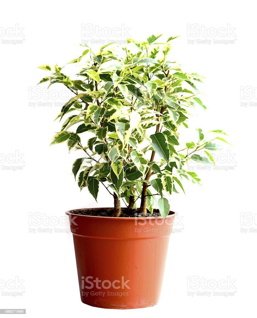 Casa em uma flor pot. figueira benjamina - foto de acervo
