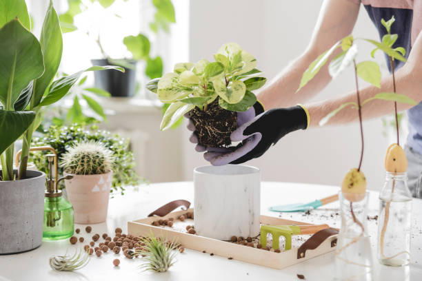 Home gardener transplanting plant in ceramic pots on the white wooden table. Concept of home garden. Spring time. Stylish interior with a lot of plants. Taking care of home plants. Template. stock photo