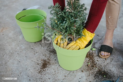 A woman pressing soil on the top of the potted fir tree.