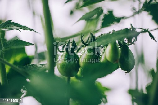 Growing our own food. Yellow pear shape vine tomatoes