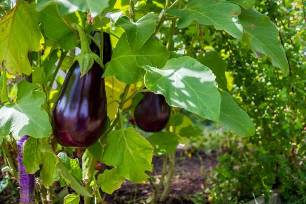 Nach Hause angebauten Aubergine – Foto