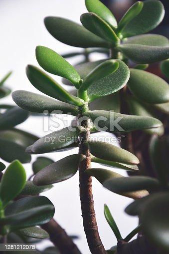 home grown money tree (crassula) on white background