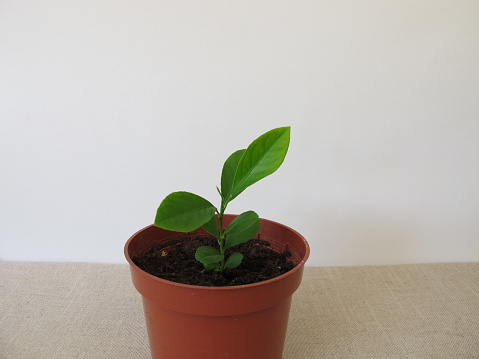 Home grown orange tree in flowerpot