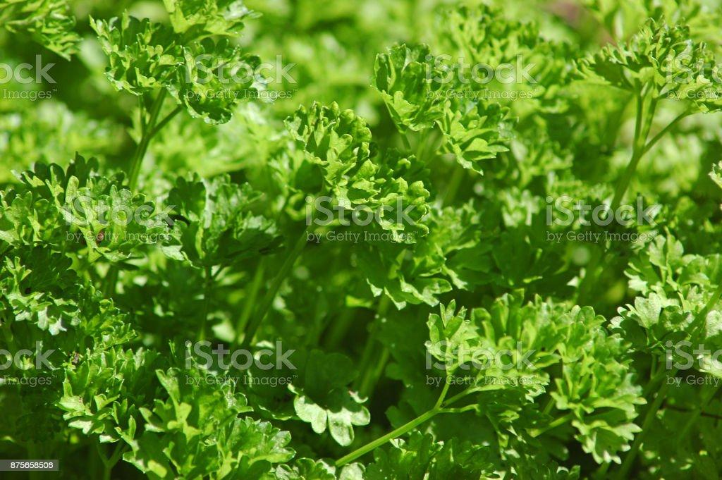 Cultivados en casa Petroselinum crispum o comúnmente conocido como perejil o perejil jardín - foto de stock