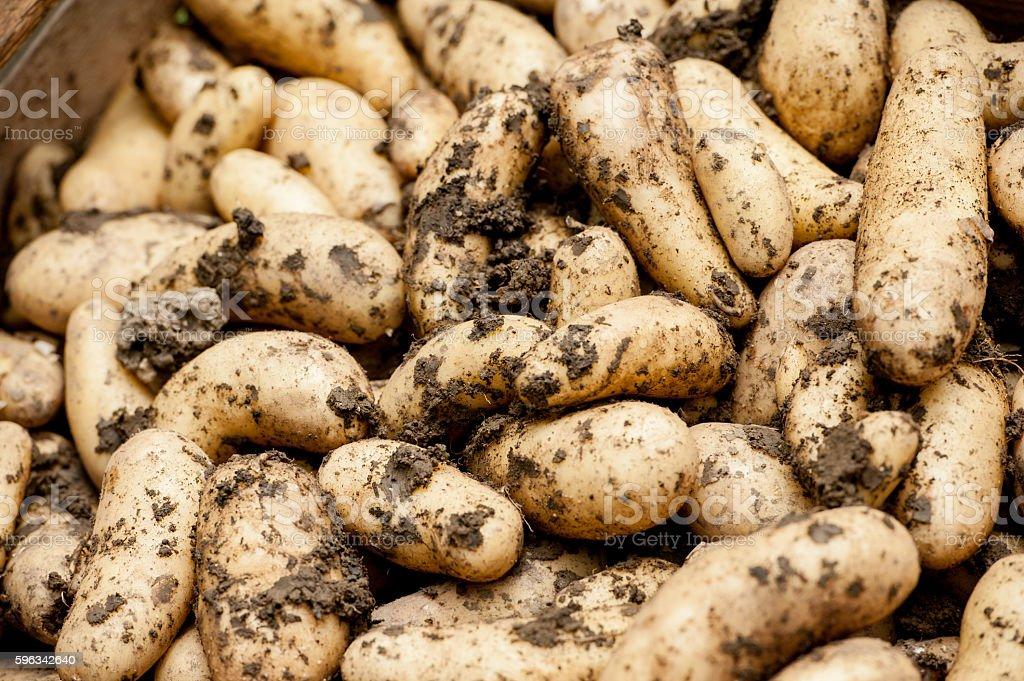 Home Grown Potatoe royalty-free stock photo