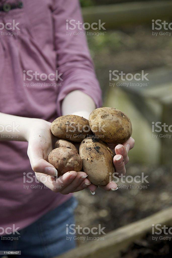 Home Grown Potatoes... royalty-free stock photo