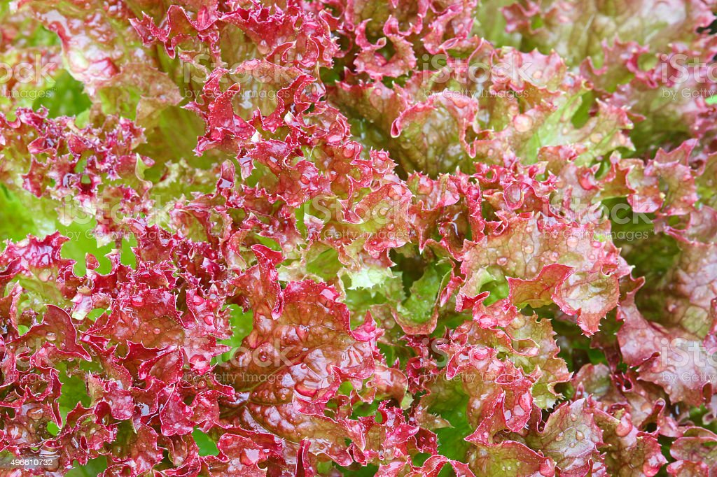 Home grown Red curly Lettuce Salad leaves stock photo