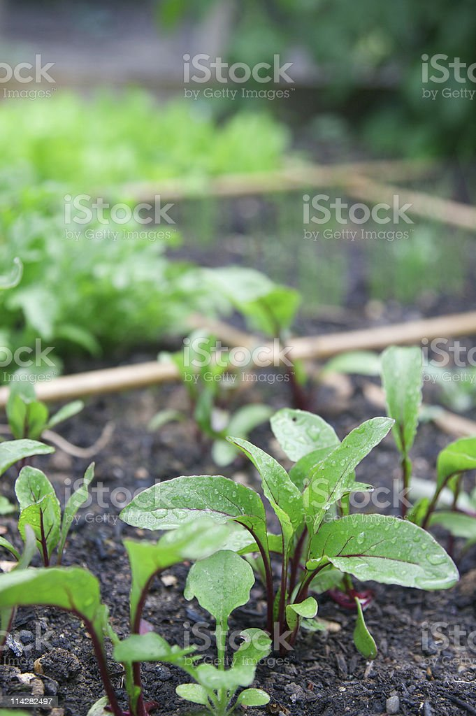 Home Grown Salad and Beetroot... stock photo