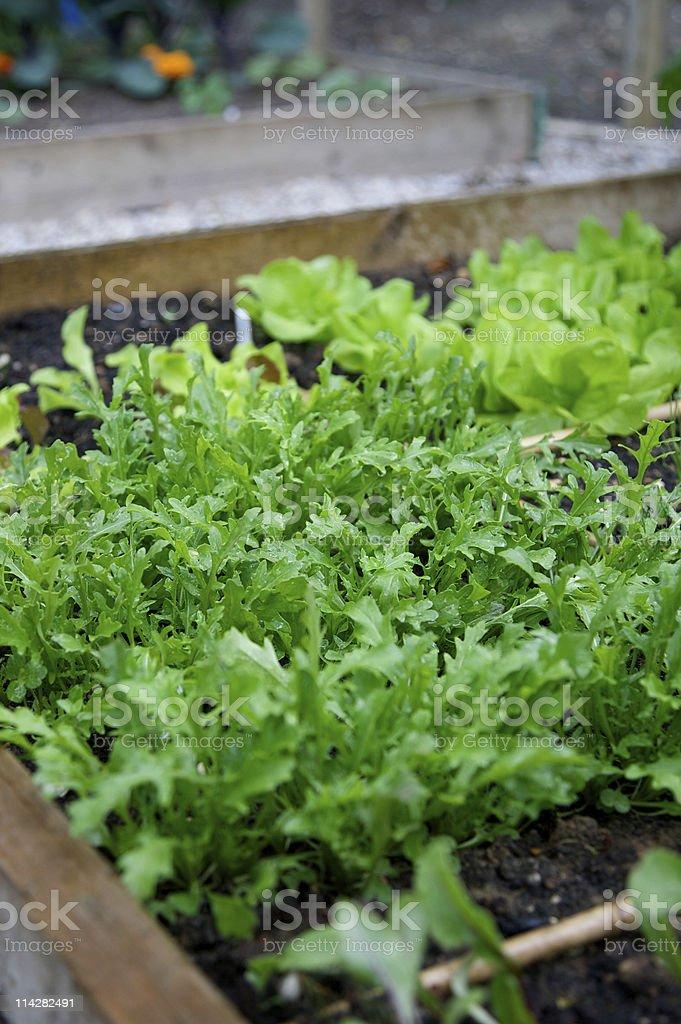 Home Grown Salad... stock photo