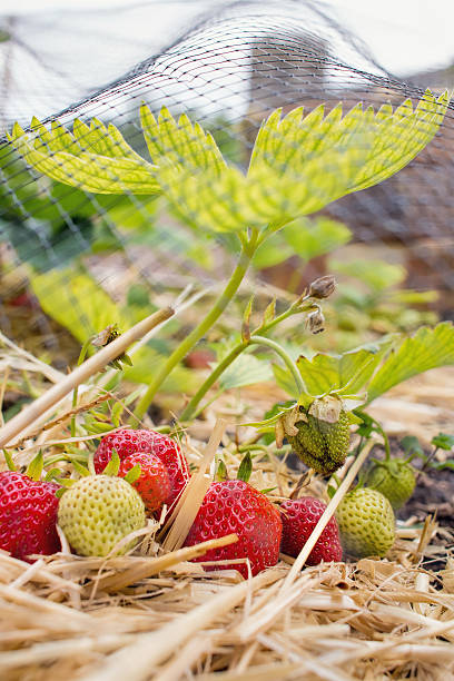 Home Grown Strawberries, fruit and vegetable garden. stock photo
