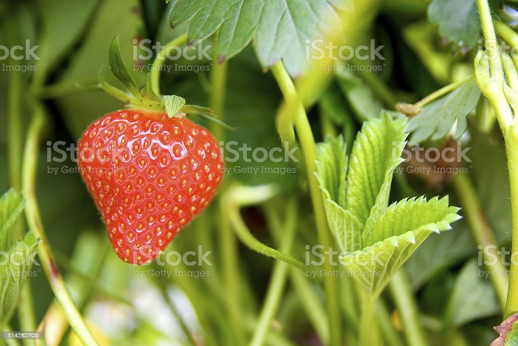 Home Grown Strawberry... royalty-free stock photo