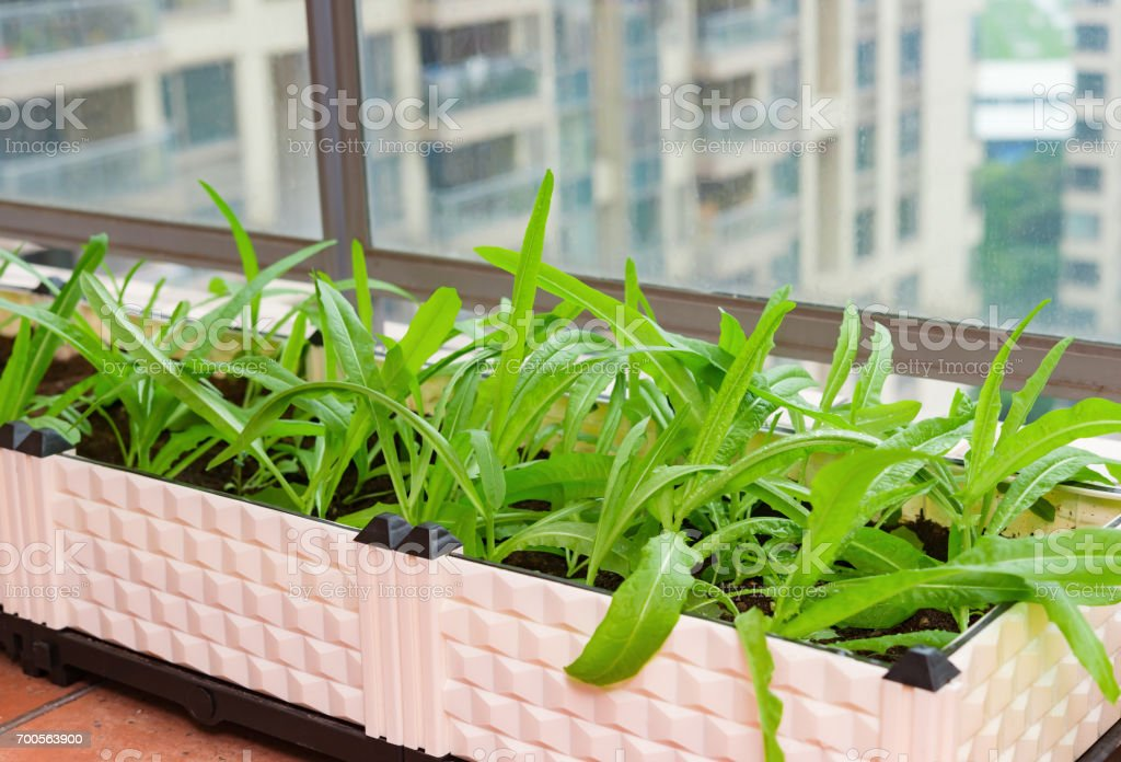 home grown vegetable on balcony of apartment building in city stock photo