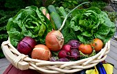 Leafy green lettuce and whole raw foods basket of onions, beets and other farm grown vegetables with clippers and gloves and shovels