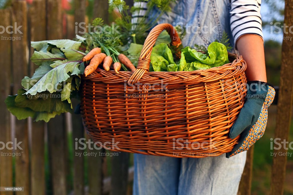 Home grown vegetables in a basket carried by gardener royalty-free stock photo