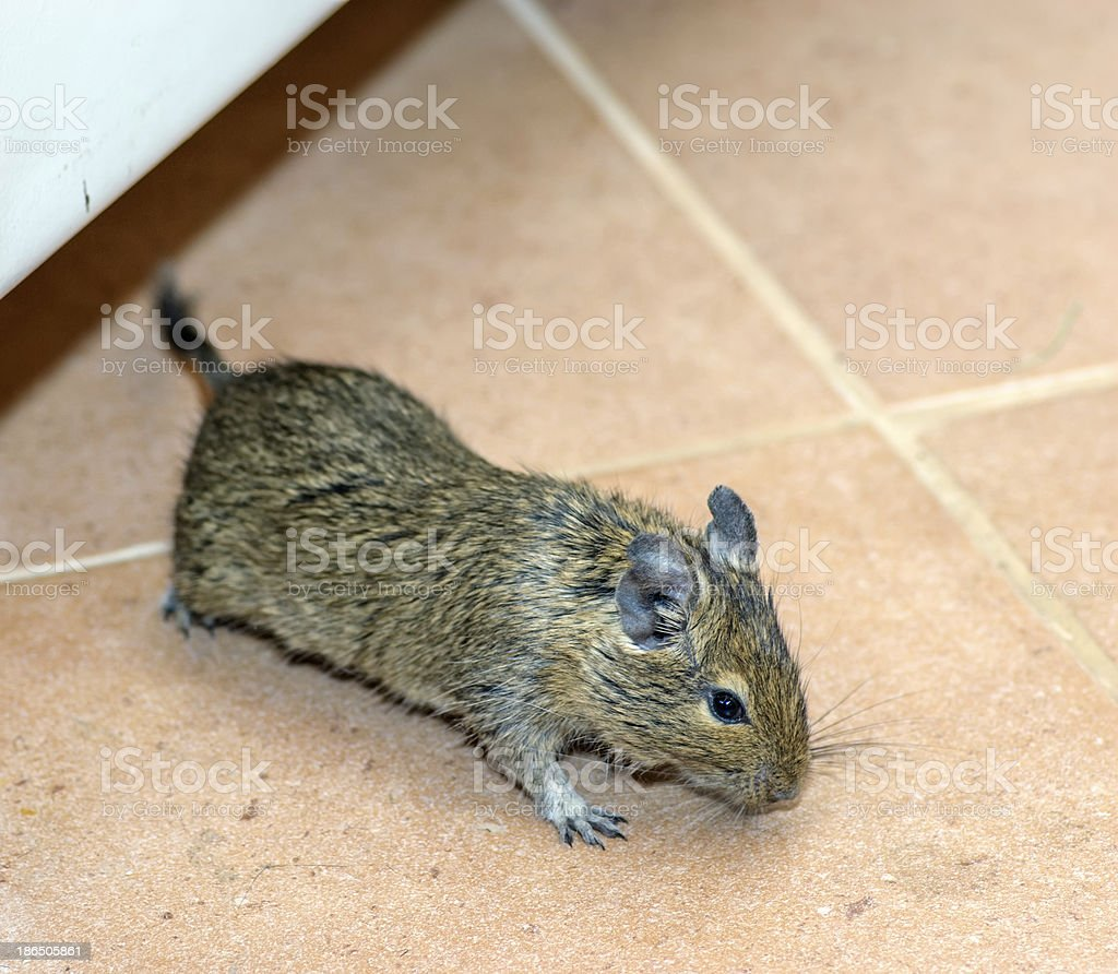 Home mouse stock photo