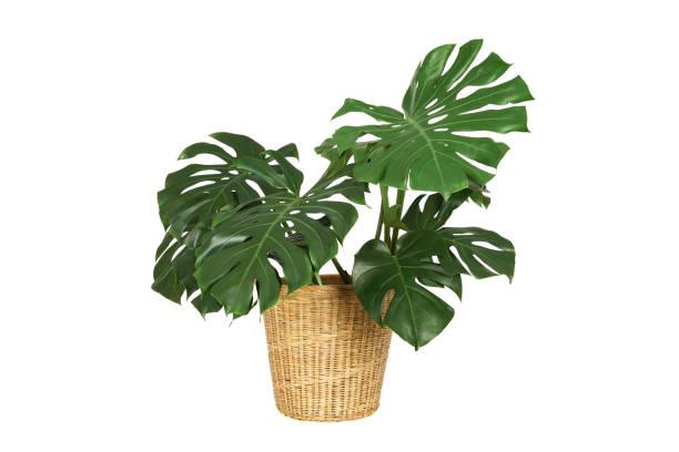 monstera home da planta no flowerpot da cesta da palha isolado no fundo branco. - monstera - fotografias e filmes do acervo