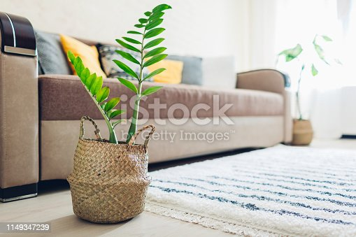 Home ZZ plant put in straw basket. Interior decor of living room