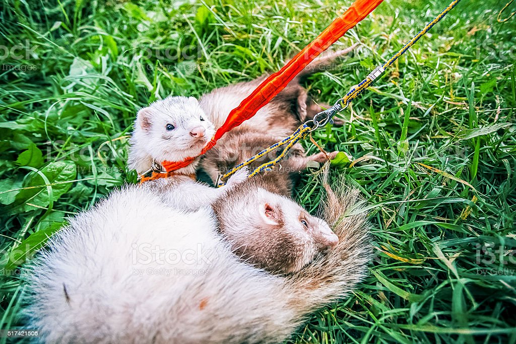 Home raccoons on leash lie in green grass stock photo