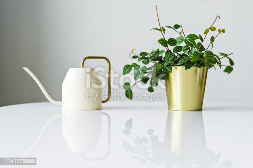 Home succulent plant in a Golden pot and a white watering can on a white background