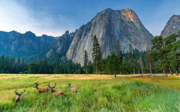 """Home Sweet Home Yosemite National Park wildlife or """"wild animal"""" stock pictures, royalty-free photos & images"""