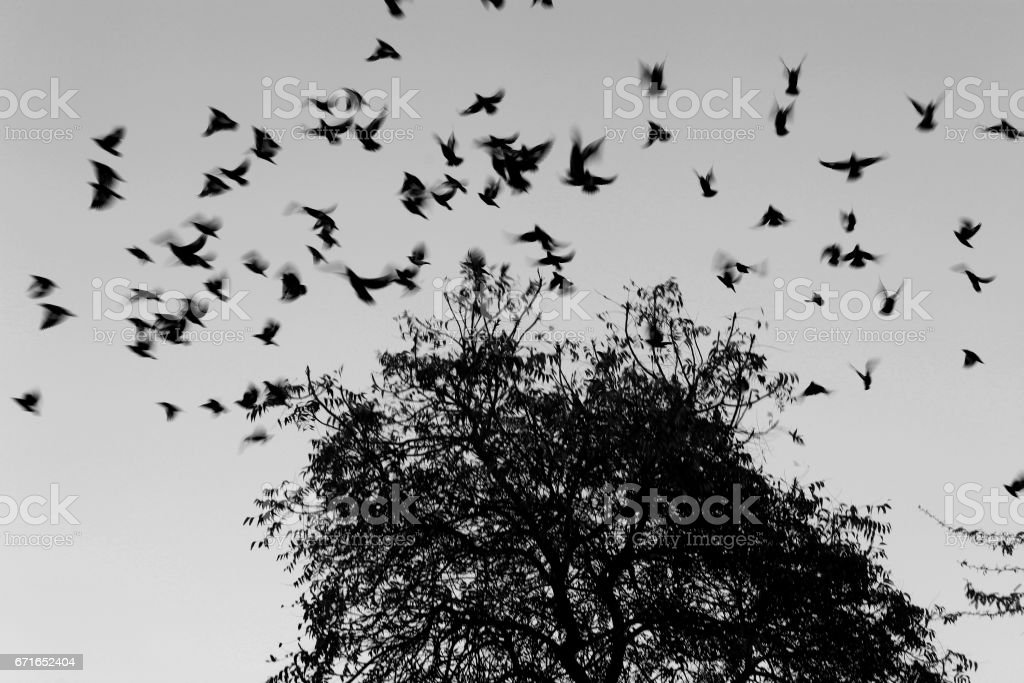 Home To Roost stock photo