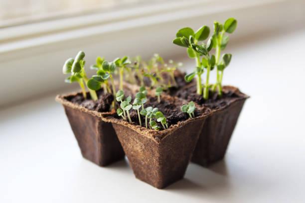 hem köksträdgård. plantor av rädisor, basilika, ärtor och dill. - pea sprouts bildbanksfoton och bilder
