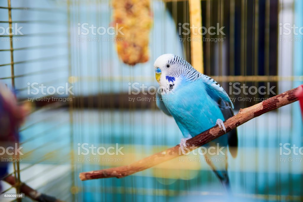 Home Wavy parrot with blue plumage sits on a perch stock photo