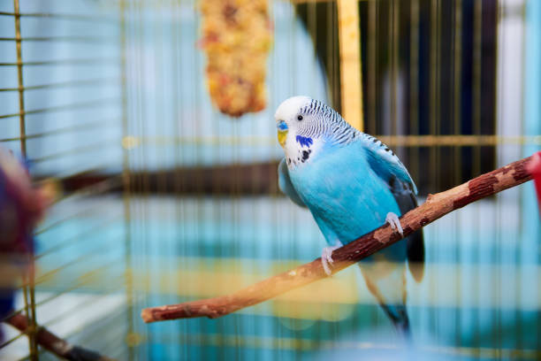 Home Wavy parrot with blue plumage sits on a perch Home Wavy parrot with blue plumage sits on a perch in a cage caenorhabditis elegans stock pictures, royalty-free photos & images